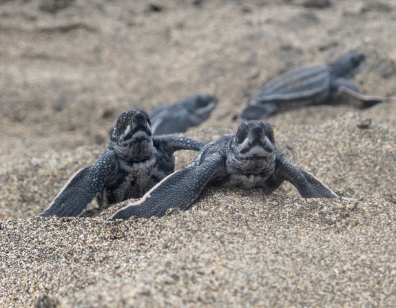 Leatherback turtles hatching, St. Eustatius