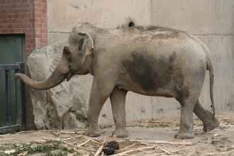 Der Ele-ele-elefant ...