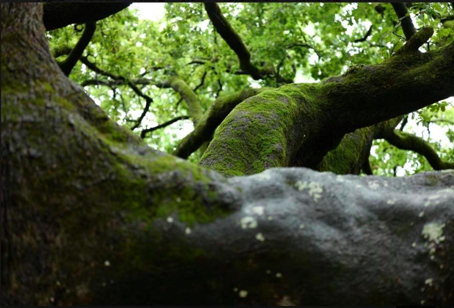 quercia delle streghe a Capannori