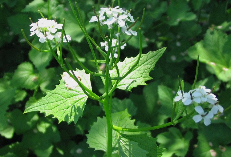 GARLIC MUSTARD: A Very Nutritious Invasive Plant - FREAK of NATURAL