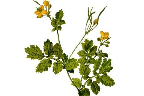 greater celandine plant
