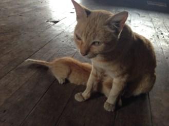 Nga Phe Kyaung monastery cats