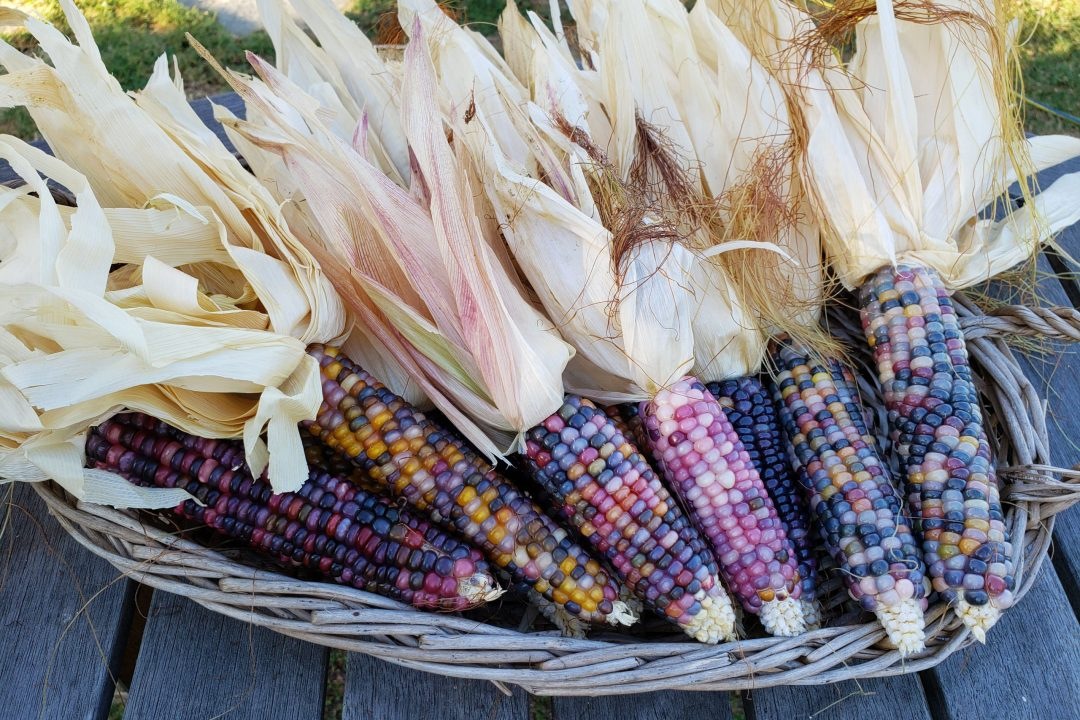 How to Grow Corn in a Backyard Garden   Freckled ...
