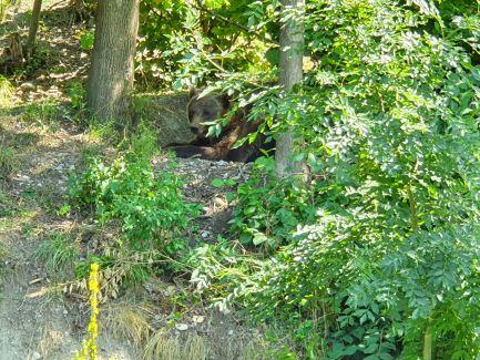A Bern bear lounging in Bear Park in Bern, Switzerland.