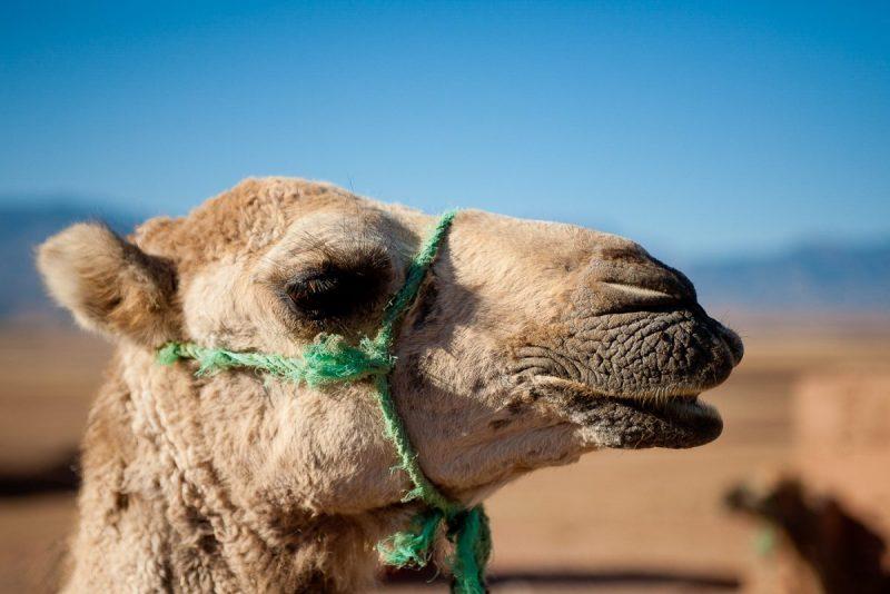 photo de chameau