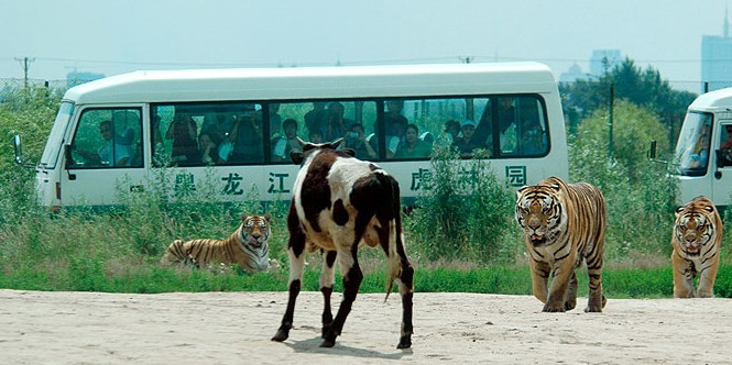 tiger-china2