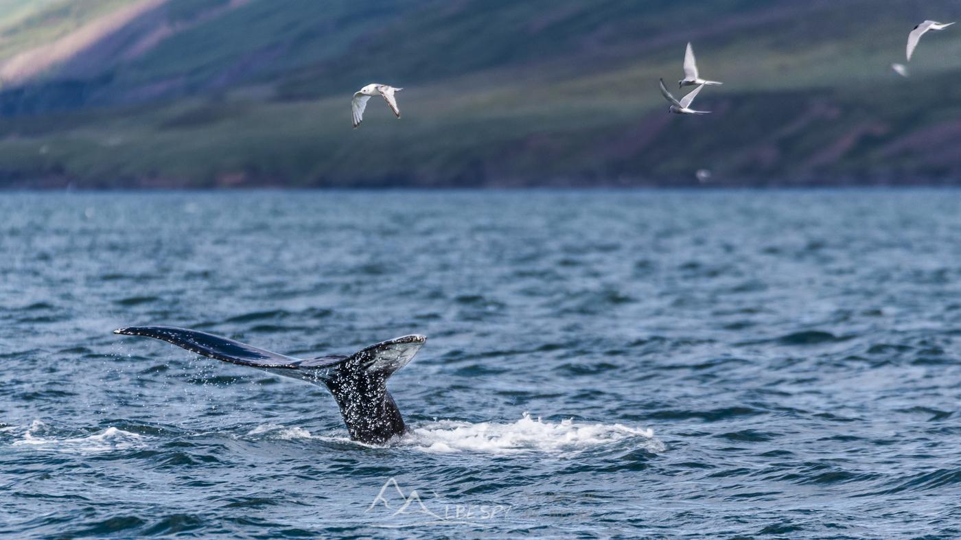 Baleine à bosse (Megaptera novaeangliae - Eyjafjörður) n°0732