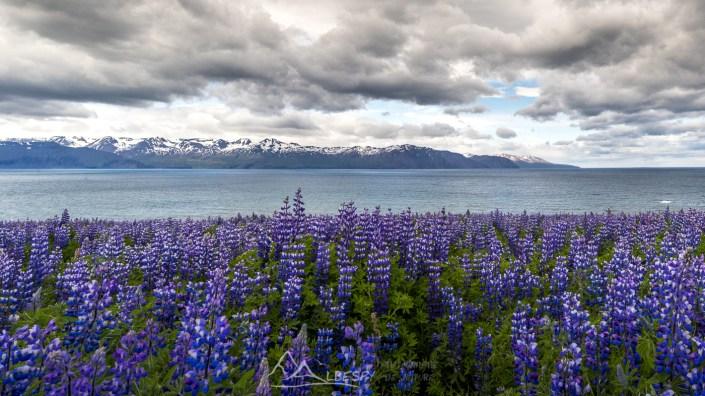 Etendue de lupins dans les fjords du nord n°0813