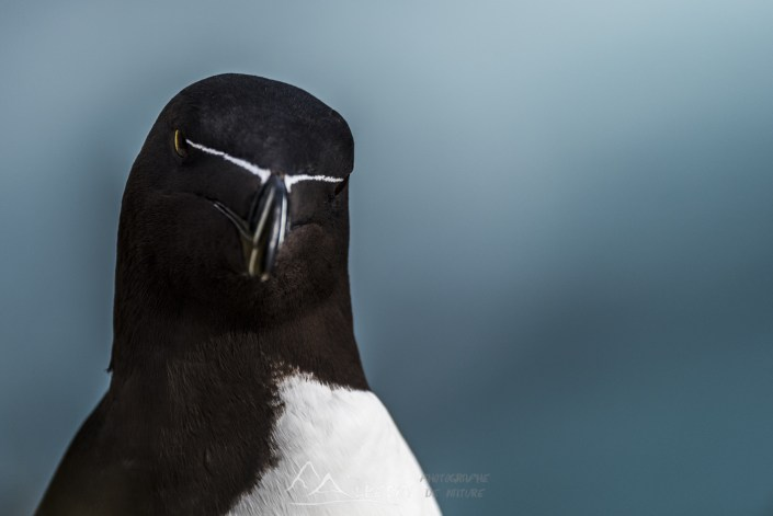 Pingouin torda (Alca torda - Falaises de Látrabjarg) n°0712
