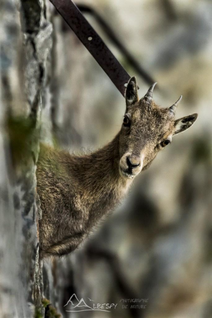 Bouquetin des Alpes (Capra ibex - Parc National du Mercantour) n°0325