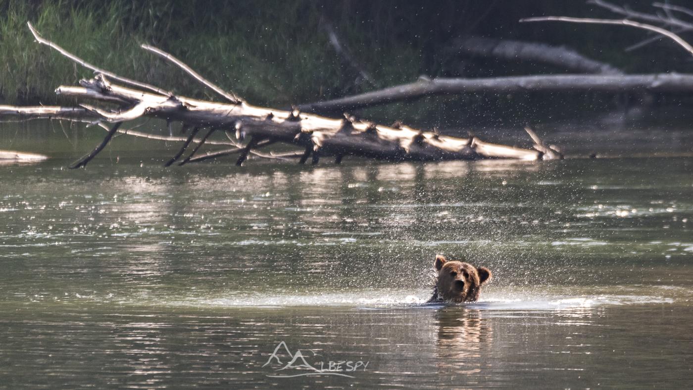 Grizzly (Ursus arctos horribilis - Colombie Britannique) n°0517