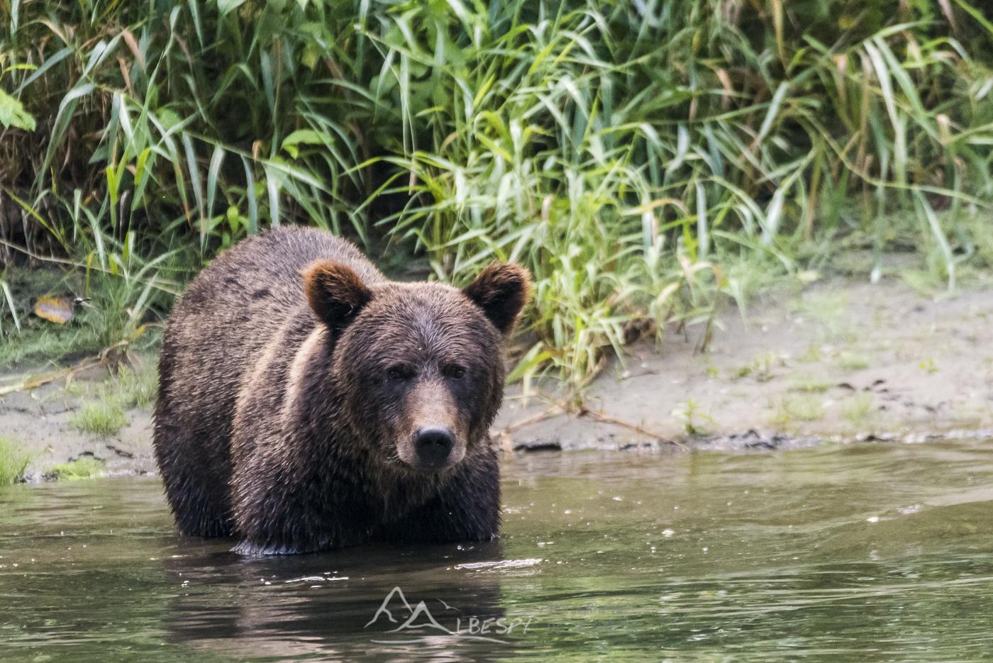 Grizzly (Ursus arctos horribilis - Colombie Britannique) n°0515