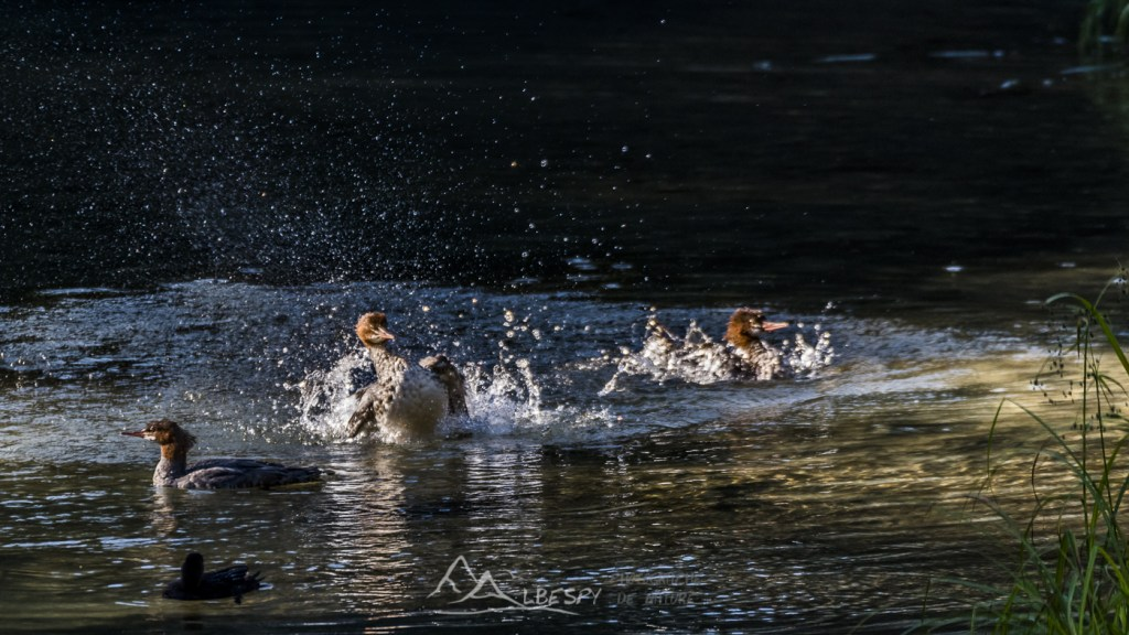 Harle bièvre (Mergus merganser - Hyder - Alaska) n°0508