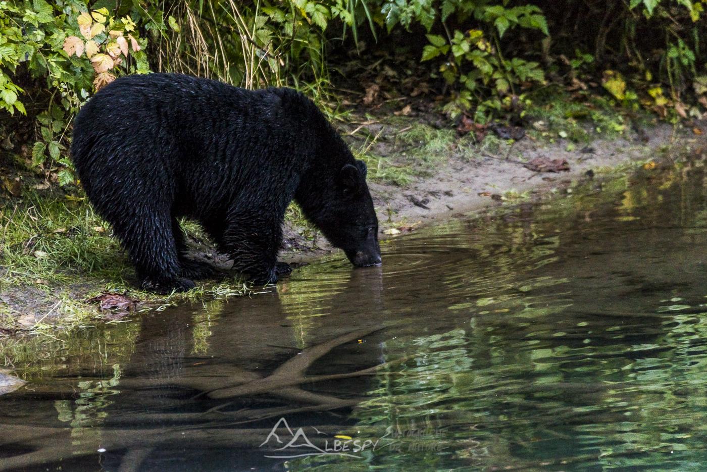 Ours noir (Ursus americanus - Hyder - Alaska) n°0507
