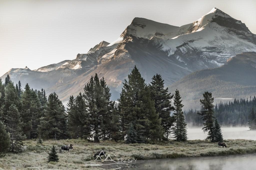 Élan (Alces alces - Parc national de Jasper - Alberta) n°0506