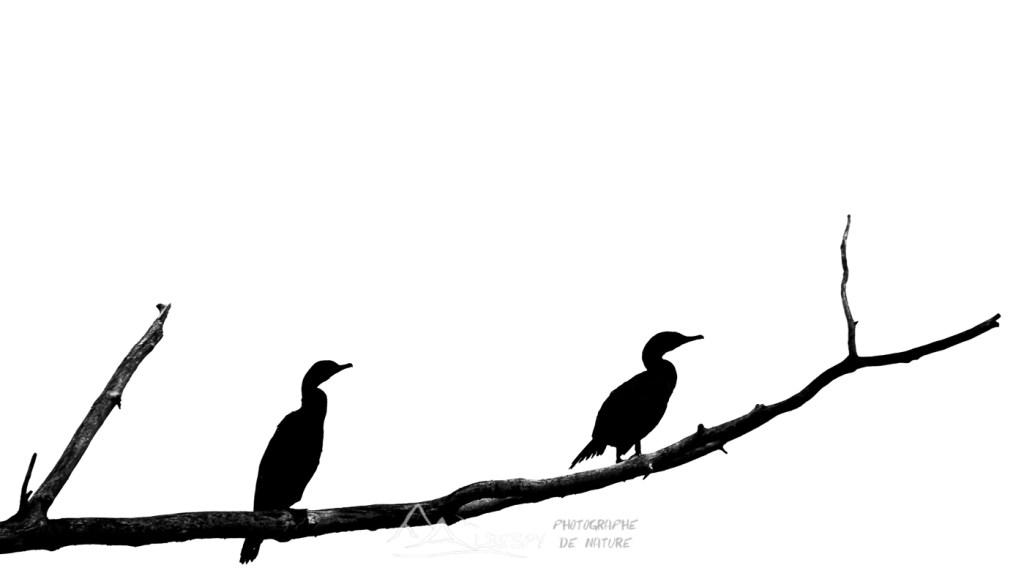 Cormoran à aigrettes (Phalacrocorax auritus - Creston - Colombie Britannique) n°0503
