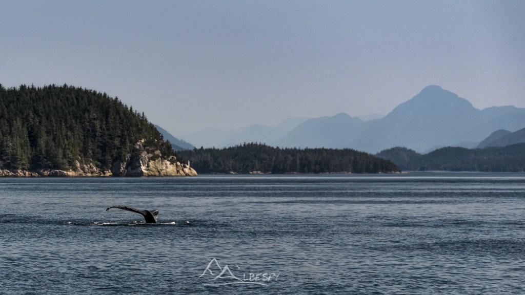 Baleine à bosse (Megaptera novaeangliae - Île Vancouver - Colombie Britannique) n°0521
