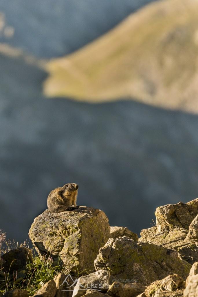 Marmotte des Alpes (Marmota marmota - Parc National du Mercantour) n°0312