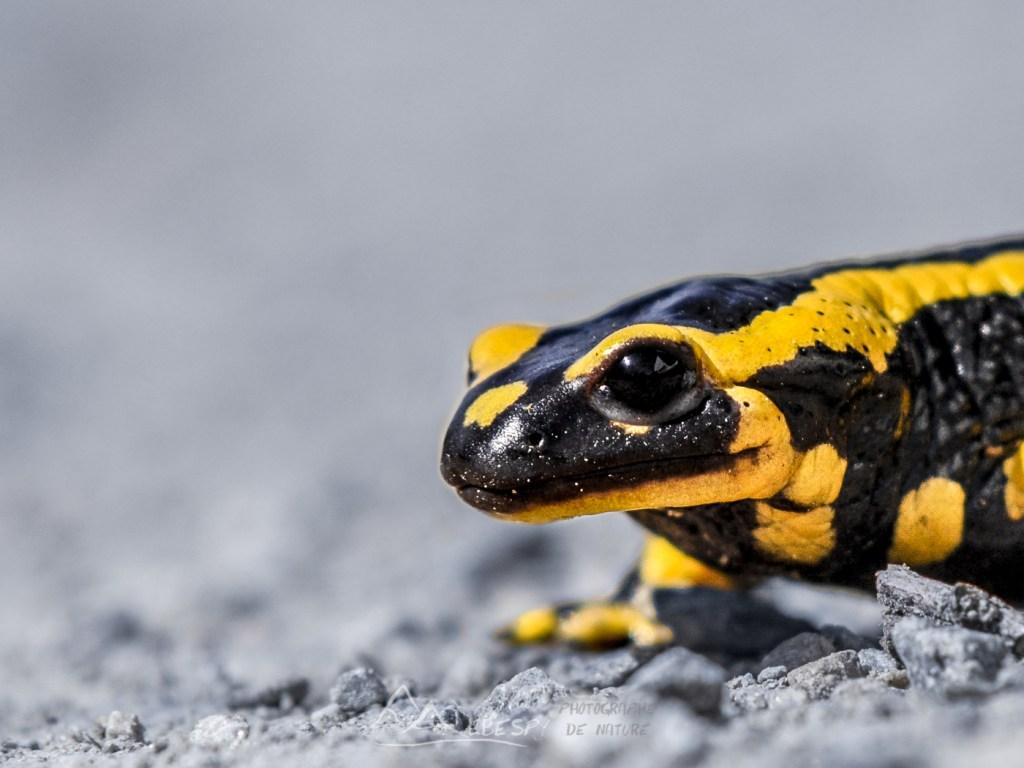 Salamandre tachetée (Salamandra salamandra - Indre) n°0306