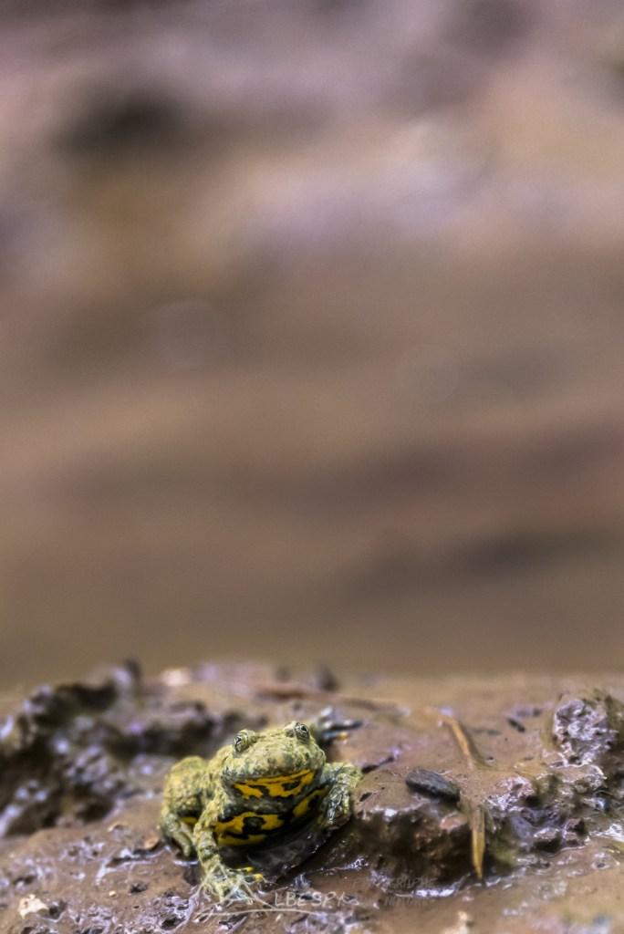 Sonneur à ventre jaune (Bombina variegata - Jura) n°0305