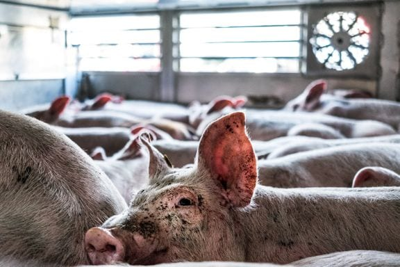 Danmark er EU's suverænt største eksportør af levende smågrise, men det samlede antal dyr, der dør eller må aflives, før de når deres destination, kendes ikke. Foto: Dyrenes Beskyttelse