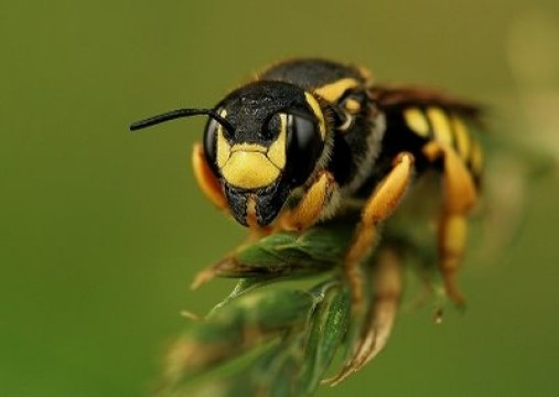 abeille cotonniere insecte nature hymenoptere.jpg