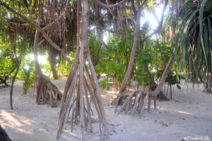 Mangroves with their long roots