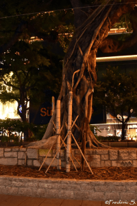 A banyan tree that has the particularity of having roots falling from branches