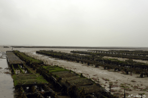 Oyster parks - Oysters as far as the eye can see ...