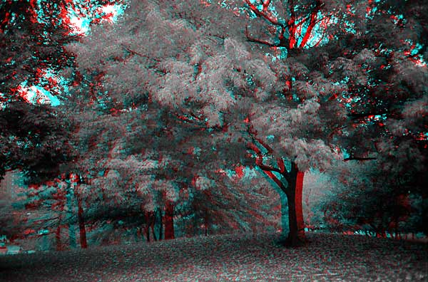 Flame tree, 1993, stereo photo by Fred Hatt
