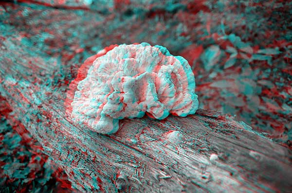 Fungus, 1993, stereo photo by Fred Hatt