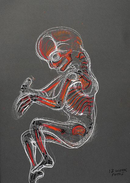 Fetal Bone Development