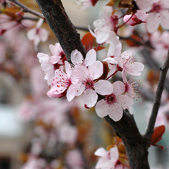 Sakura, 2006, photo by Fred Hatt