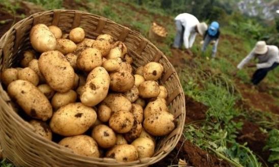 Budidaya tanaman kentang