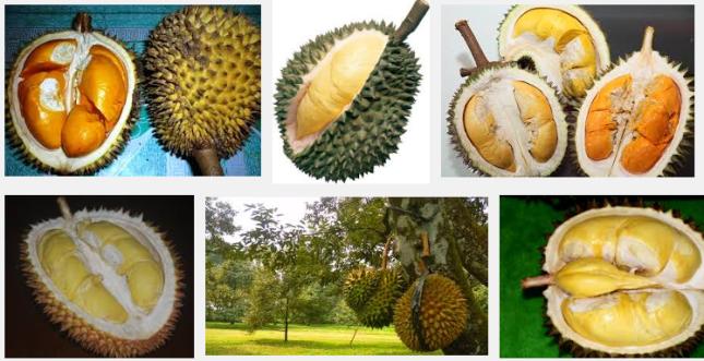 Jenis Jenis Buah Durian Asli Indonesia
