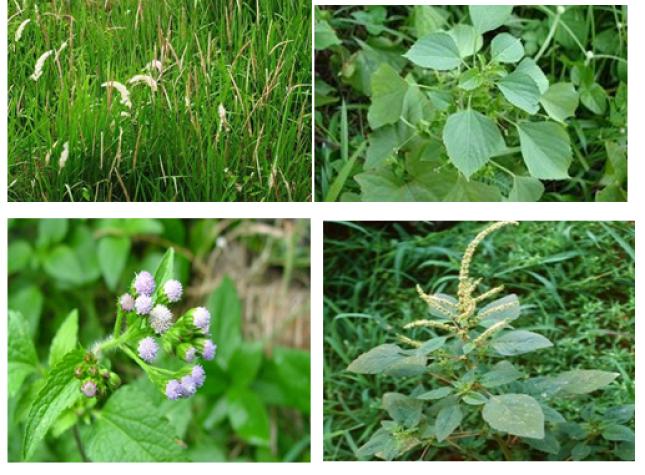 jenis rumput liar untuk herbal