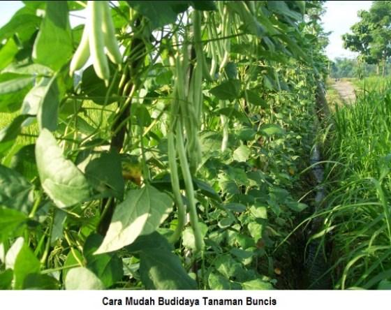 cara mudah budidaya tanaman buncis