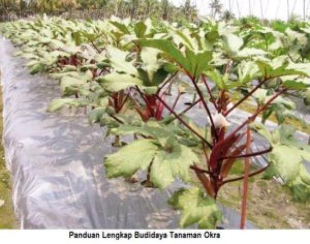 panduan lengkap budidaya tanaman okra