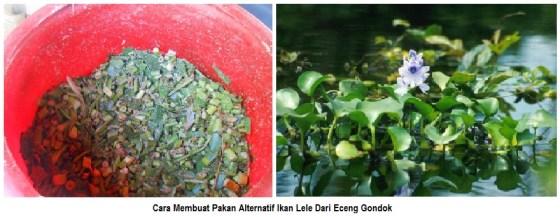 cara membuat pakan alternatif ikan lele dari eceng gondok