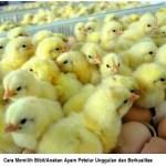 cara memilih bibit/anakan ayam petelur unggulan dan berkualitas