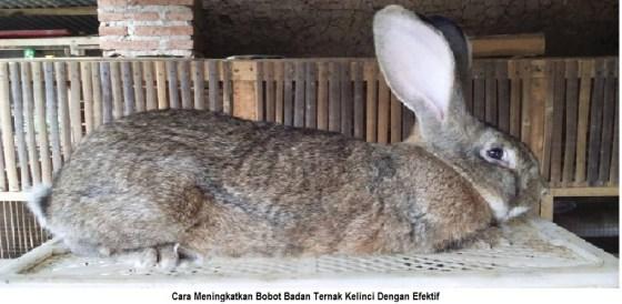 cara meningkatkan bobot badan ternak kelinci dengan cepat