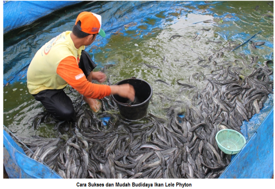 cara mudah budidaya ikan lele phyton