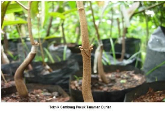 Teknik sambung pucuk tanaman durian