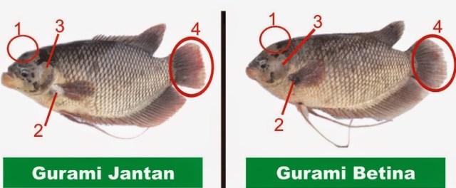 Cara Membedakan Ikan Gurame Jantan Dan Betina Ilmu Pengetahuan Lengkap