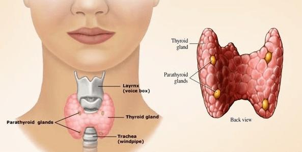 Pengertian kelenjar tiroid, struktur tiroid, Fungsi tiroid dan kelainan tiroid