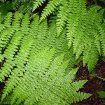 Fern on the AT
