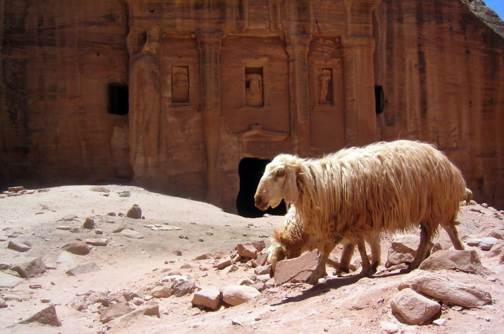 Petra sheep