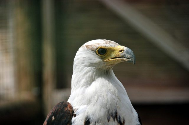 White-head eagle