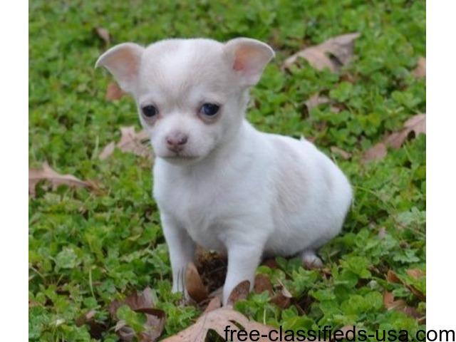 Free Adoption Chiwawa Puppies
