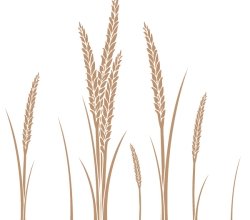 Ear of Wheat Vector